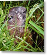 Fly Resting On The Groundhog's Nose Metal Print