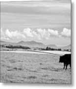 Free Range Beef Cattle On Open Farmland Anglesey North Wales Uk Metal Print