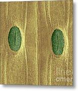 Garlic Leaf Stomata, Esem Metal Print