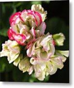Geranium Flowers Metal Print