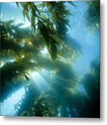 Giant Kelp Forest Metal Print