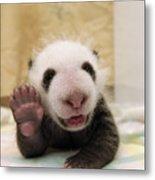 Giant Panda Ailuropoda Melanoleuca Cub Metal Print