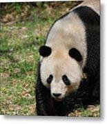 Gorgeous Black And White Giant Panda Bear Walking Metal Print
