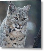 Gorgeous Bobcat's Face Up Close Metal Print