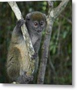Gray Bamboo Lemur Metal Print