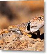 Great Basin Collared Lizard Metal Print