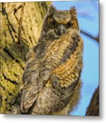 Great Horned Owl Fledgling  Metal Print