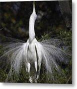 Great White Egret Display Metal Print