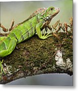 Green Iguana Iguana Iguana, Tarcoles Metal Print