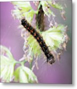 Gypsy Moth Caterpillar Metal Print