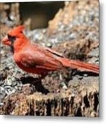 Hungry Cardinal Metal Print