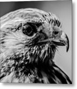 Harris Hawk   Metal Print