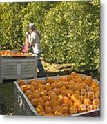 Harvesting Navel Oranges Metal Print