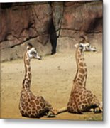 Having A Giraffe Metal Print