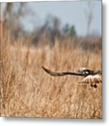 Hawk Soaring Over Field Metal Print