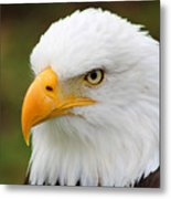 Head Of An American Bald Eagle Metal Print