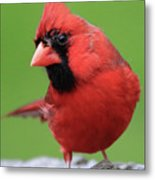 Hello Cardinal Metal Print
