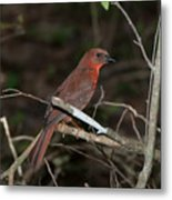 Hepatic Tanager At The Coba Ruins Metal Print