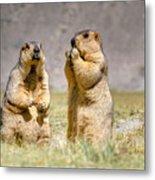 Himalayan Marmots Pair Standing In Open Grassland Ladakh India Metal Print
