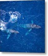 Humpback Whales Aerial Metal Print