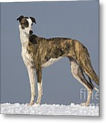 Hungarian Greyhound Metal Print