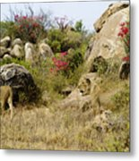Hunting Lionesses Metal Print