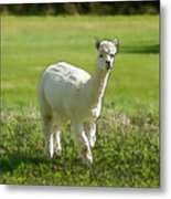 Illustration Of White Alpaca Like Llama Walking In Field Unique And Different Metal Print