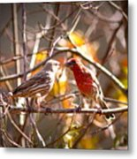 Img_0001 - House Finch Metal Print