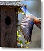 Img_1414-003 - Eastern Bluebird Metal Print