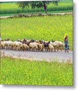 Indian Villagers Herding Sheep. Metal Print