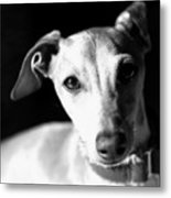Italian Greyhound Portrait In Black And White Metal Print