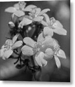 Jatropha Blossoms Painted Bw Metal Print