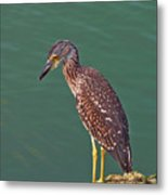 Juvenile Black Crowned Night Heron Metal Print
