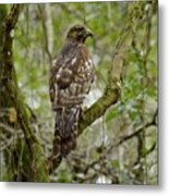Juvenile Short-tailed Hawk Metal Print