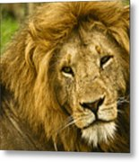 King Of The Savanna Metal Print
