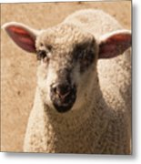 Lamb Looking Cute. Metal Print