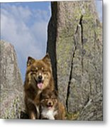 Lapinko�ra Dog And His Pup Metal Print