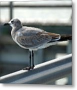 Laughing Gull Metal Print