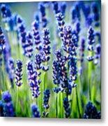 Lavander Flowers In Lavender Field Metal Print