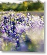 Lavender Purple Flower Blooming On Side Road In Texas At Sunset Metal Print