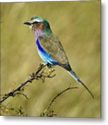 Lilac-breasted Roller Metal Print