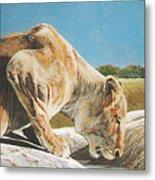 Lion Low Metal Print