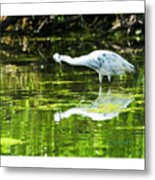 Little Blue Heron Fishing Metal Print