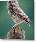 Little Owl Metal Print