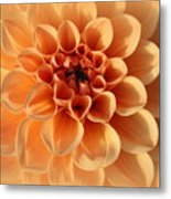 Lovely In Peaches And Cream - Dahlia Metal Print