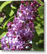 Lovely Lilacs Metal Print