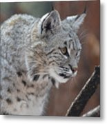 Lynx In A Crouch Ready To Pounce Metal Print