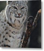 Lynx Perched In A Tree Metal Print