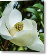 Magnolia Bloom IIi Metal Print