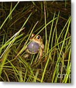 Male Toad Metal Print